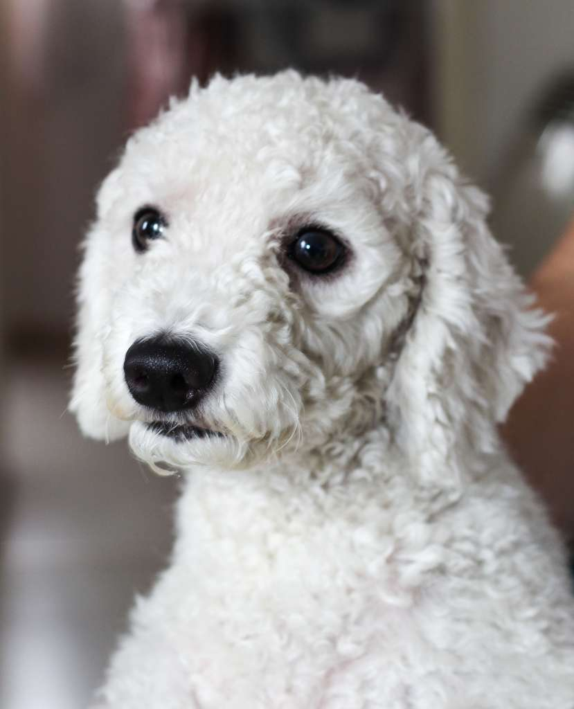 hypoallergenic dogs are commonly poodles