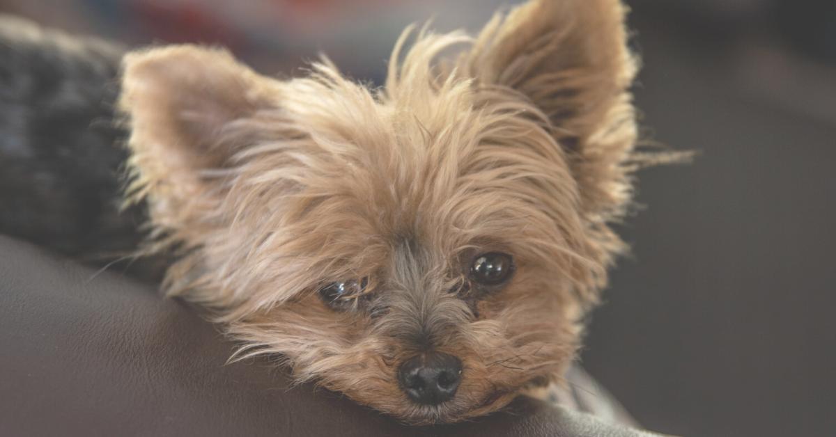 designer dog breeds, yorkie poo puppy