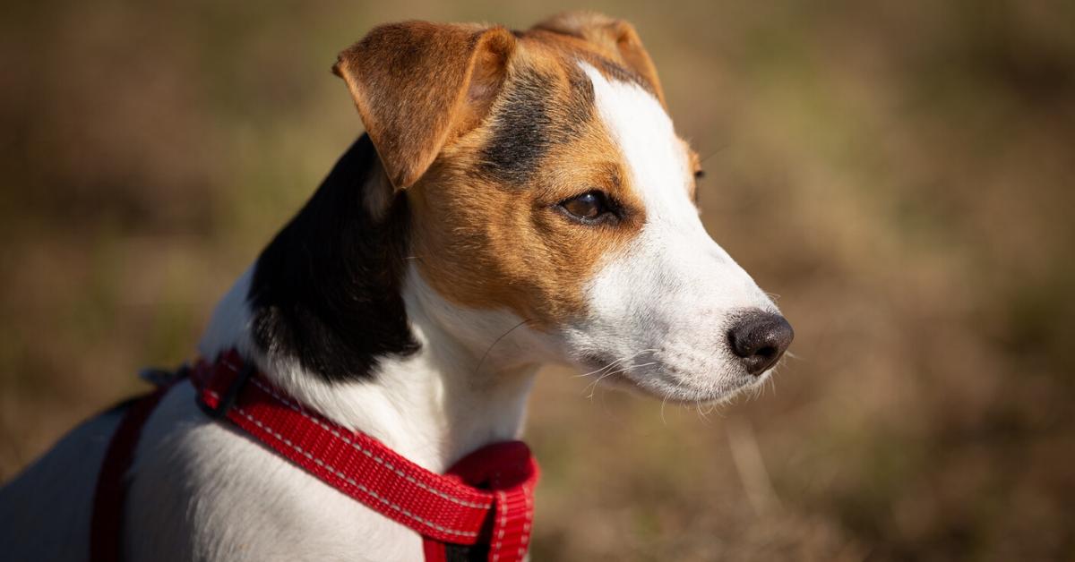 Russell Terrier in field
