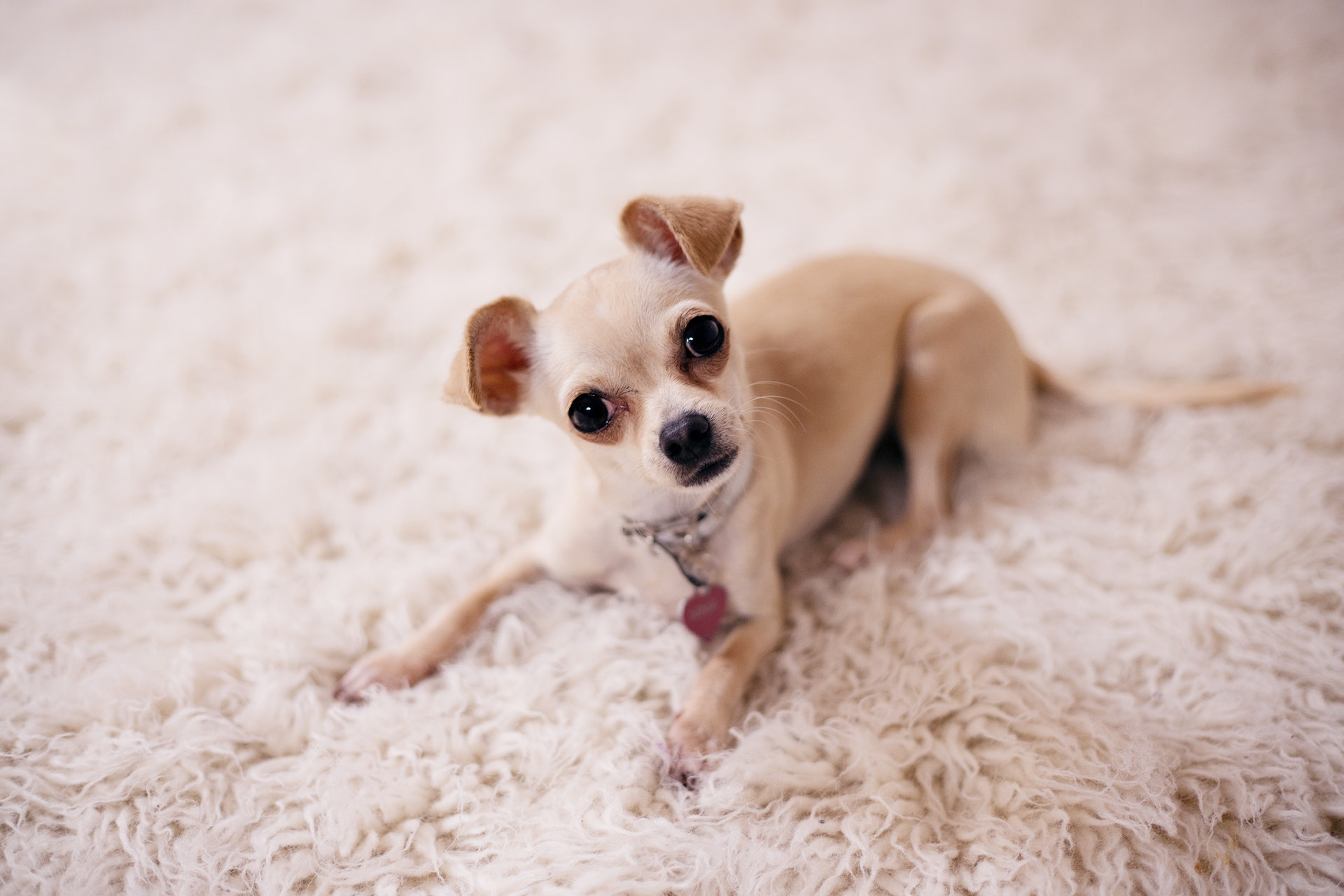 small dog breeds chihuahua