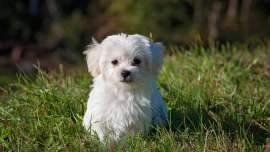 small dog breeds maltese bichon