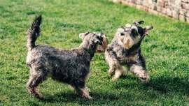 small hypoallergenic dogs minuature Schnauzers