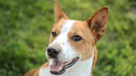 small hypoallergenic dogs basenji breed