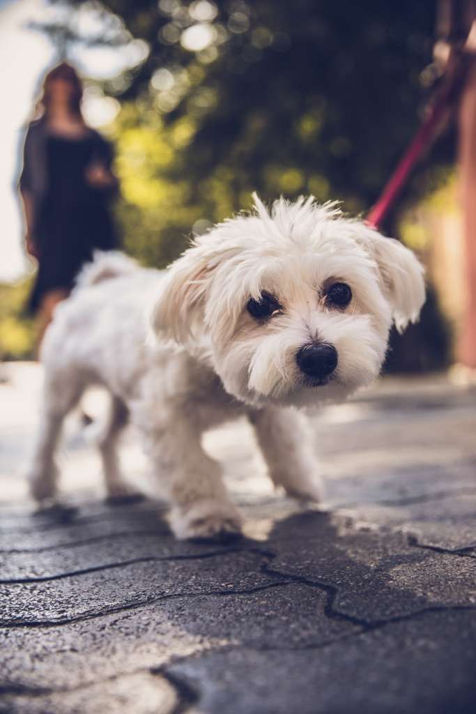 Small white dog Bichon Frise