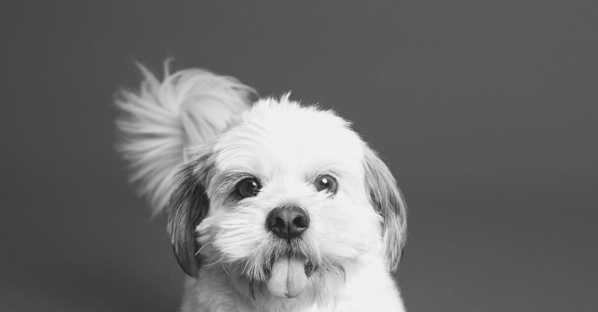 Small white dog breeds black background