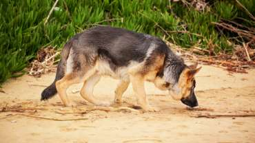 coprophagia dog sniffing why do dogs eat poop