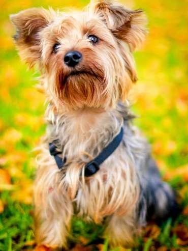 yorkie poo designer dog breeds