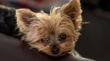 yorkie poo dog designer dog breeds